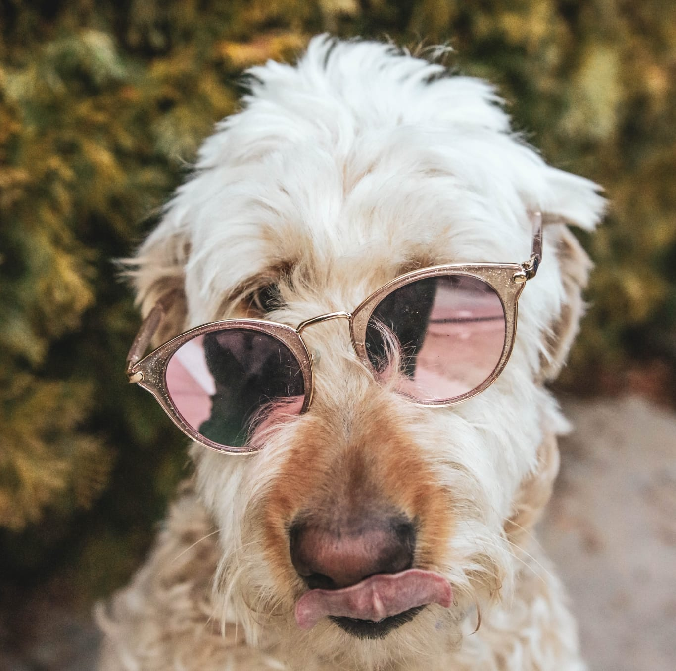 dog with crooked sunglasses on